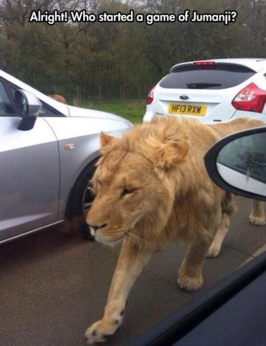 funny lion walking street cars1 stuck in traffic when suddenly