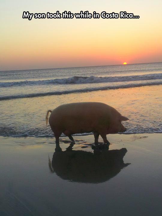 funny-pig-big-beach-sun