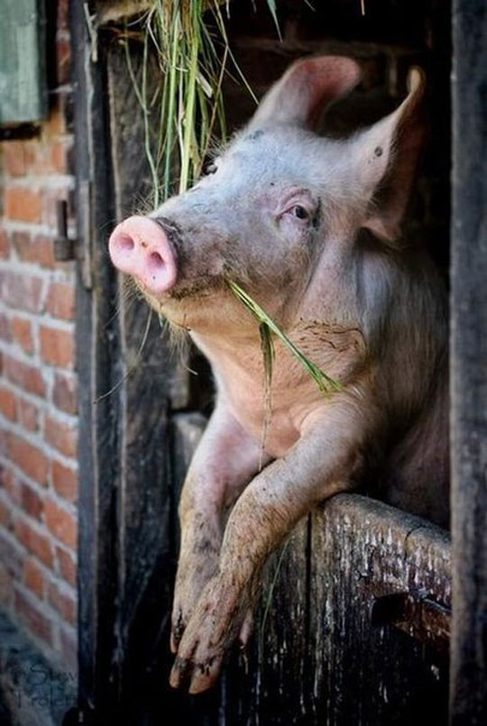 funny-pig-chilling-eating-farm