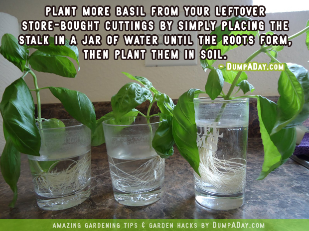 DumpADay-Garden-Hacks-Replanting-Basil