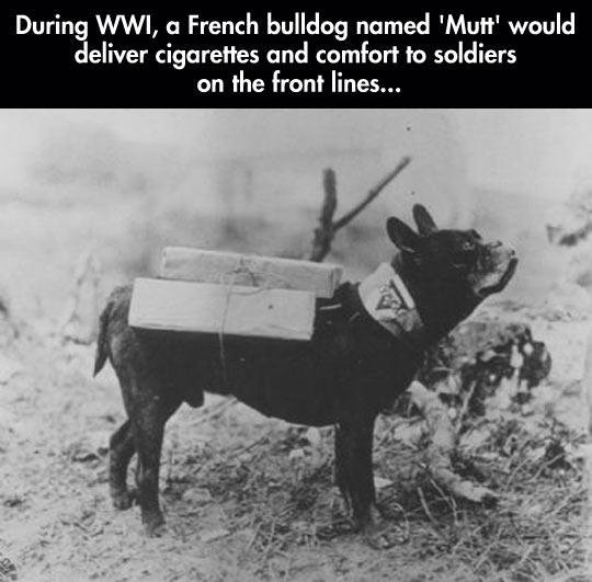 cool-French-Bulldog-delivering-cigarettes-soldiers-1