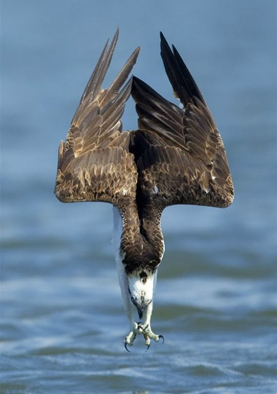 cool-Osprey-catching-food-sea