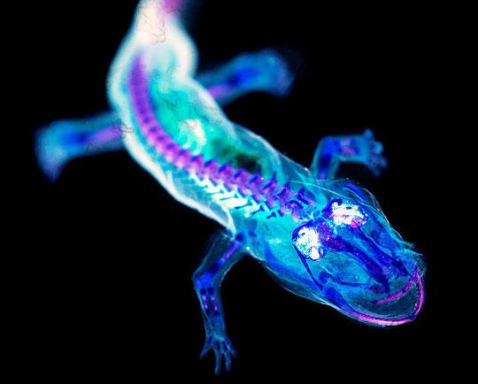 Blacklight Salamander