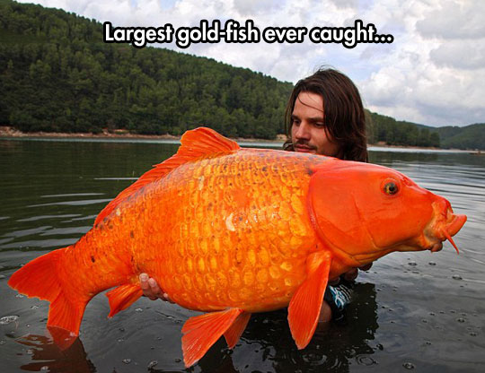 The Giant Orange Koi Carp