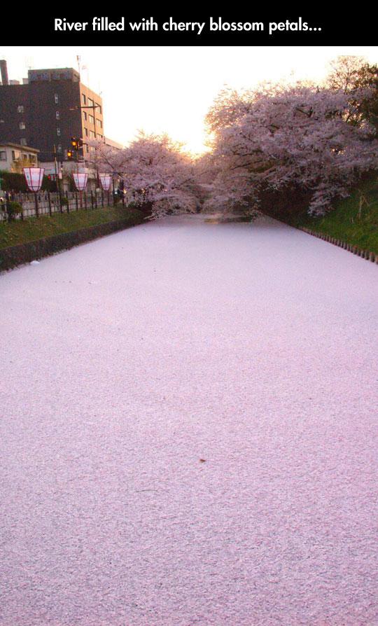 cool-river-cherry-blossom-petals
