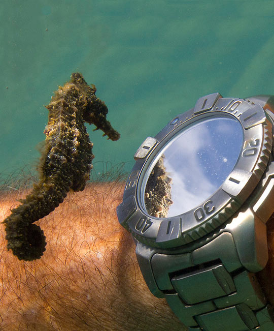 A Seahorse Admiring His Own Reflection From a Divers' Watch