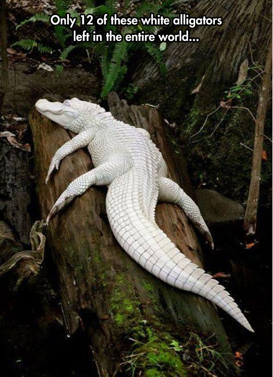 Amazing Albino Alligator