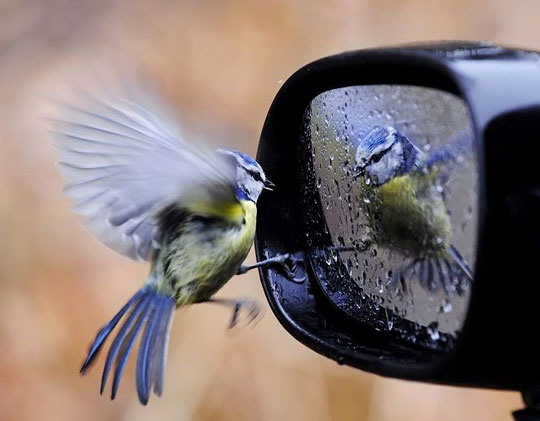 Bird Checking Out Its Reflection