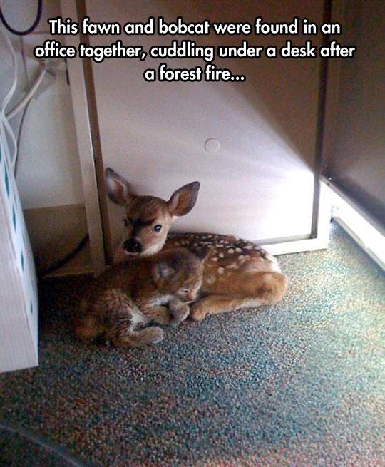 cute-bobcat-fawn-cuddling-carpet