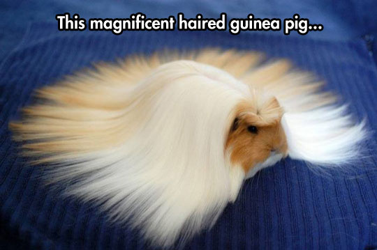 cute-haired-Guinea-pig