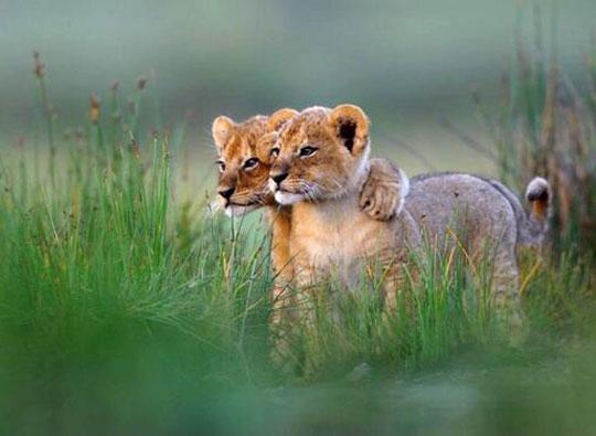 cute-lion-cubs-hug-grass