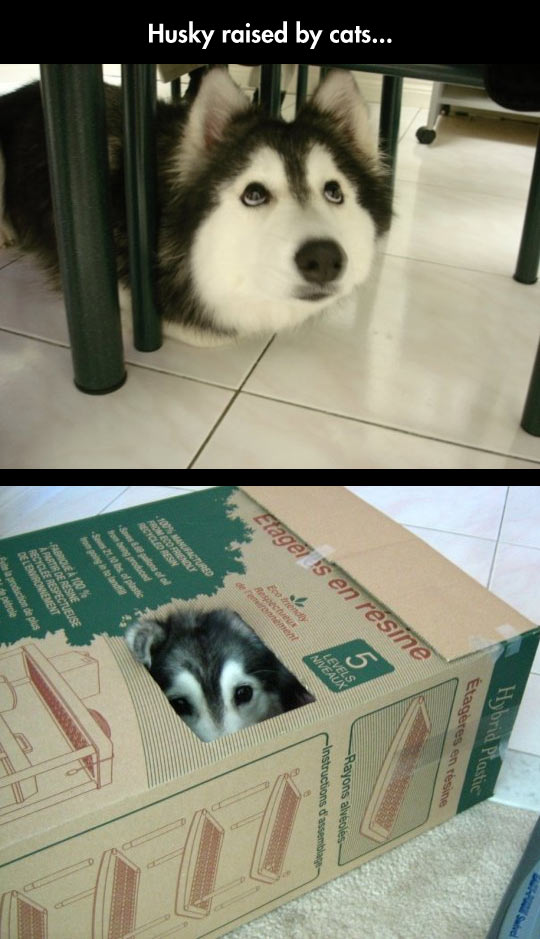 funny-Husky-dog-table-box