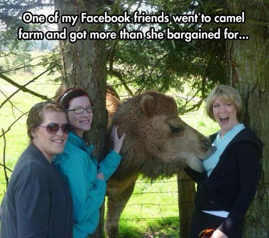funny-camel-farm-woman-sucking