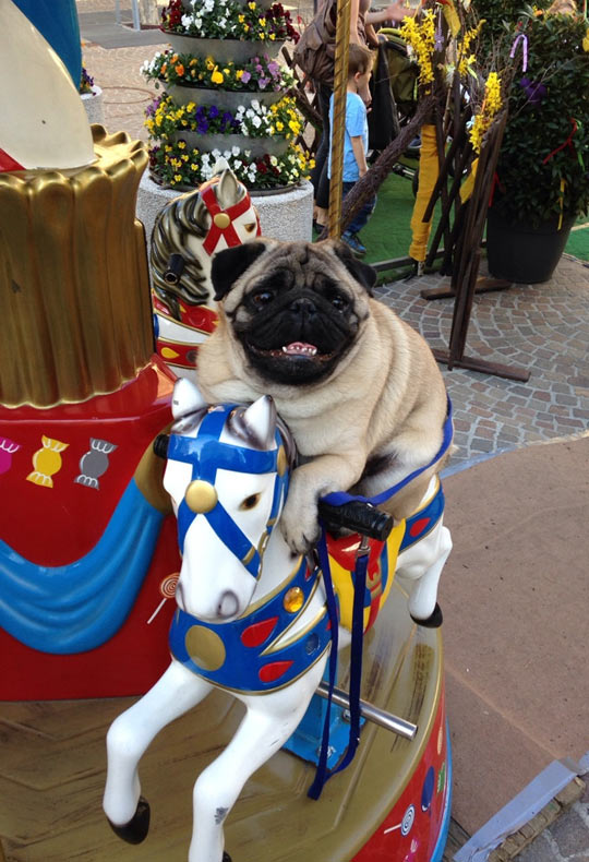 funny-carrousel-pug-scared-dog