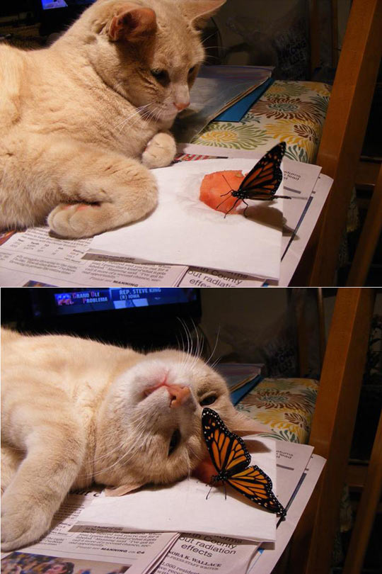 funny-cat-butterfly-staring-newspaper