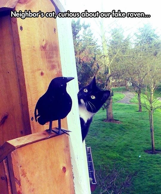 funny-cat-fake-raven-wondering