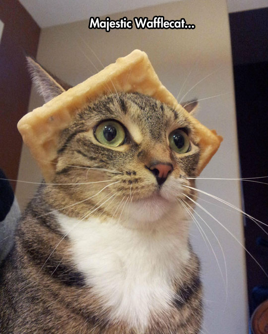funny-cat-waffle-hat-weird