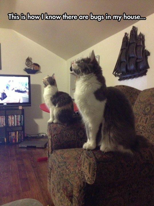 funny-cats-staring-roof-couch