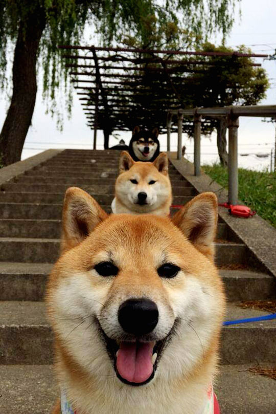 funny-dog-heads-stairs-perspective