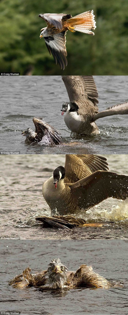 funny-duck-eagle-water-falling