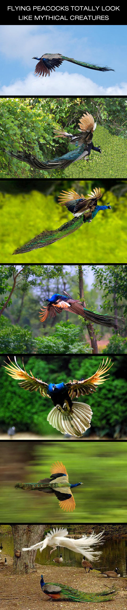 funny-flying-peacock-free-wild-majestic