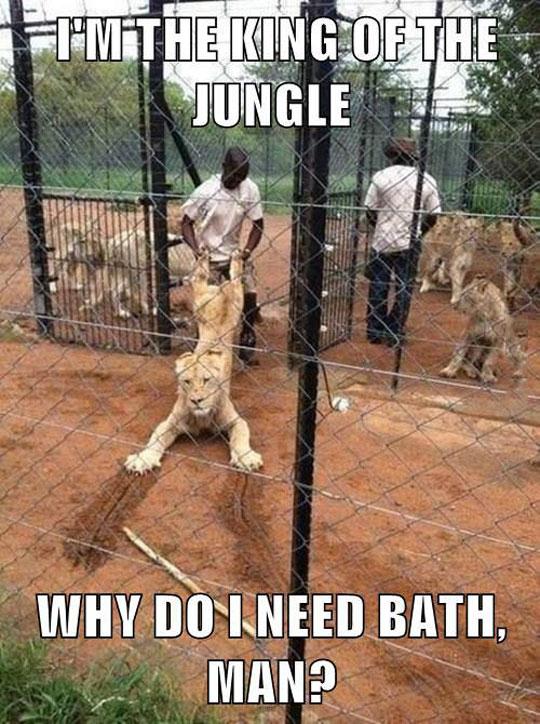 funny-lion-zoo-bath-king