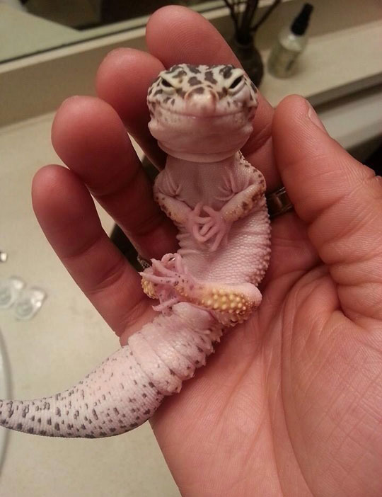 An Adorable Leopard Gecko