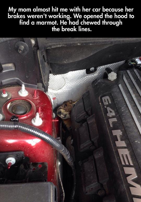 funny-marmot-inside-car-hidden-1