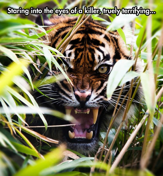 The Real Eye of The Tiger