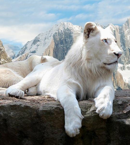 Gorgeous White Lion