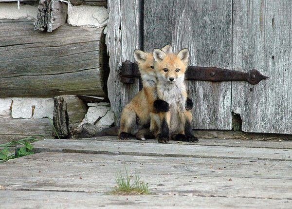 Fox Puppy Embrace