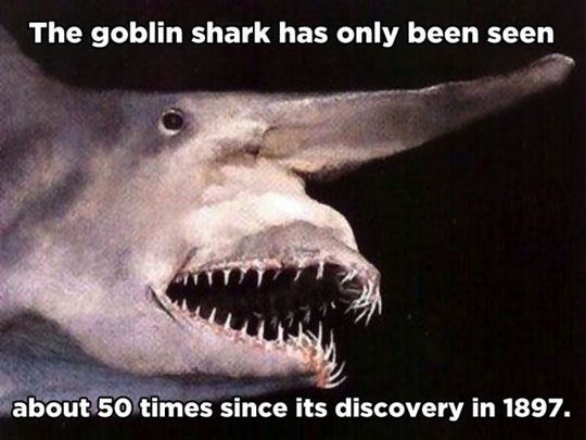 Goblin Shark Teeth