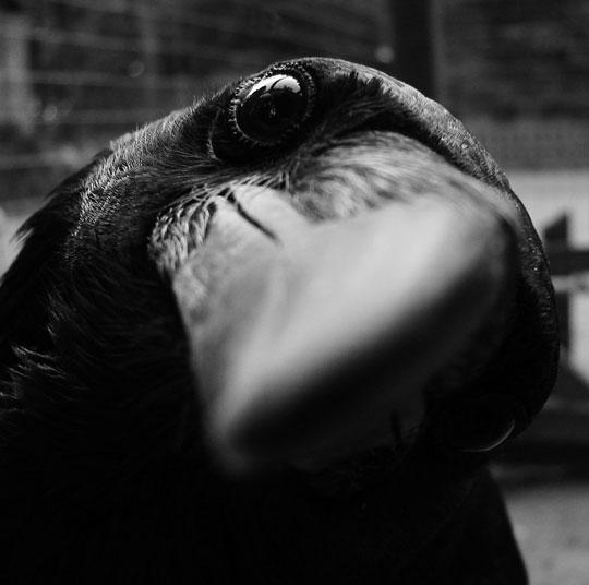cool-crow-black-white-close-up