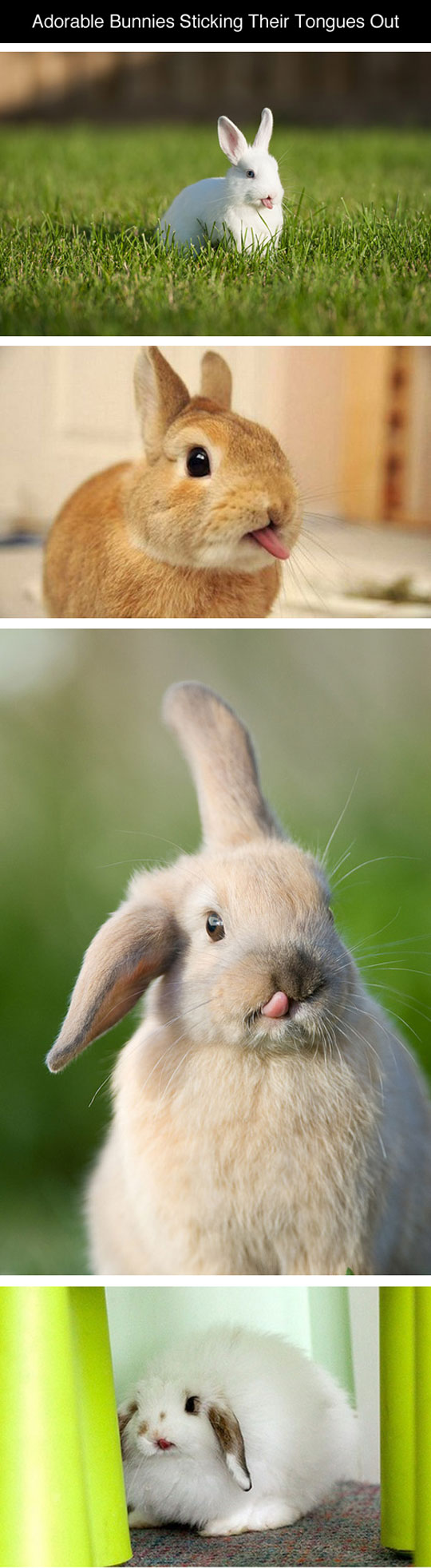cute-adorable-bunnies-tongue-out