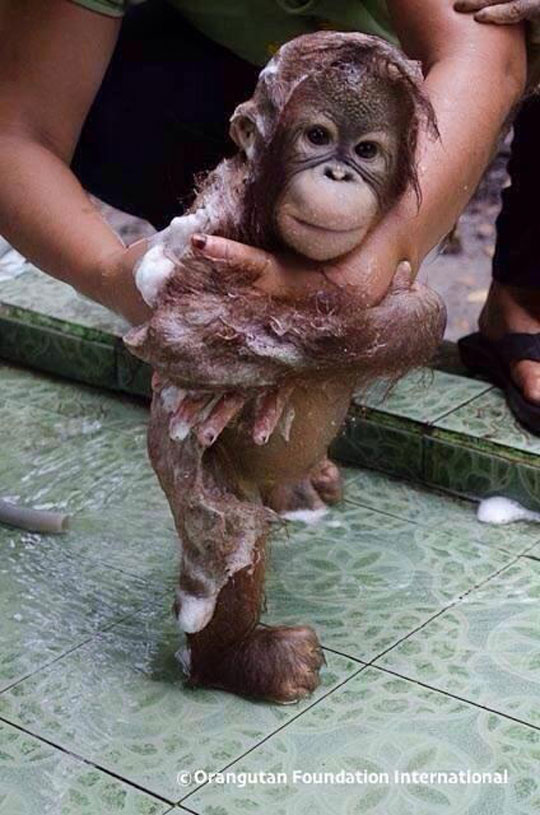cute-baby-orangutan-bath-bubbles
