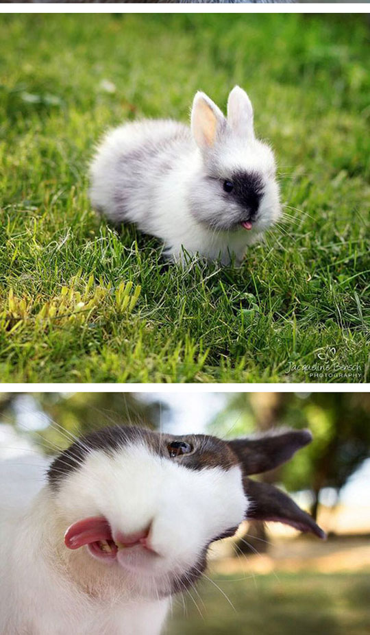 cute-rabbit-sticking-tongue-out