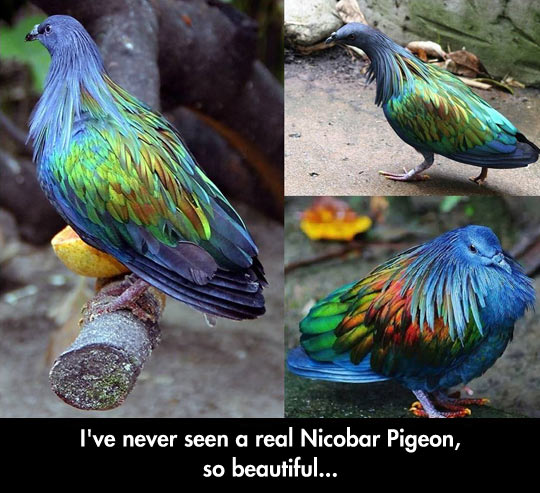 funny-Nicobar-Pigeon-bird-colorful-feather