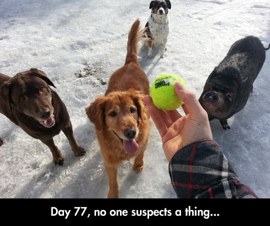 funny-Tennis-ball-dogs-pig