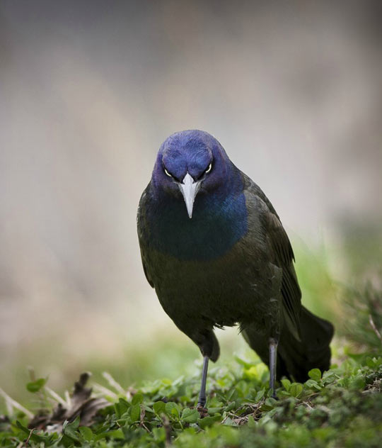 Very Angry Bird