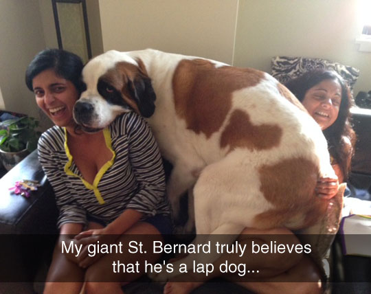 funny-big-dog-lap-couch