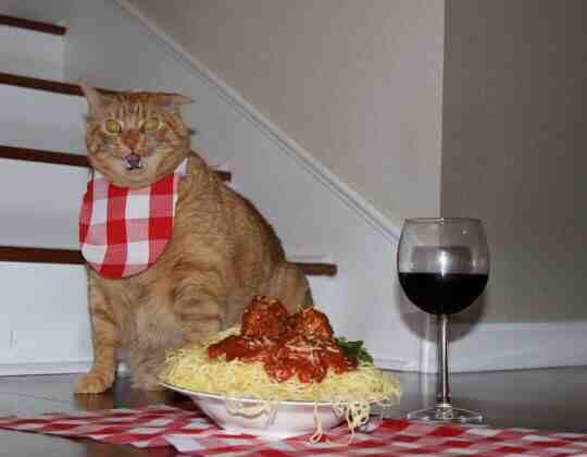 funny-cat-angry-spaghetti-dish
