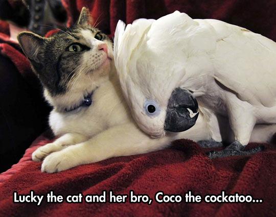 funny-cat-cockatoo-friends-pets