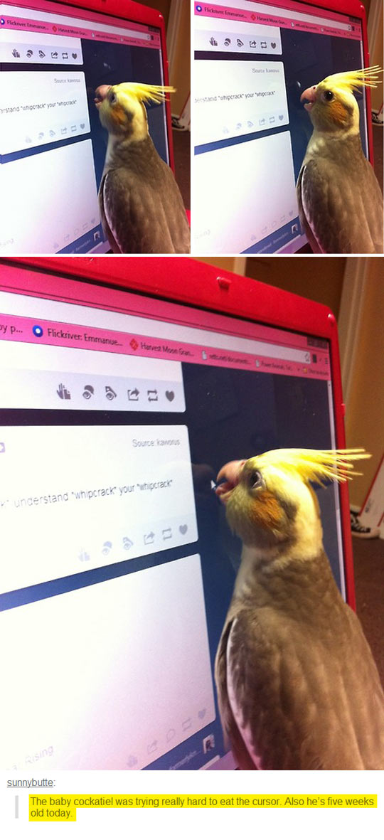 Curious Baby Cockatiel