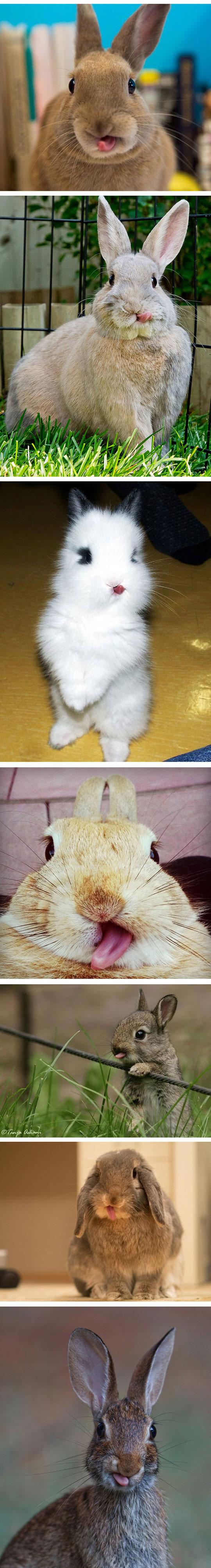funny-cute-rabbits-tongue-out