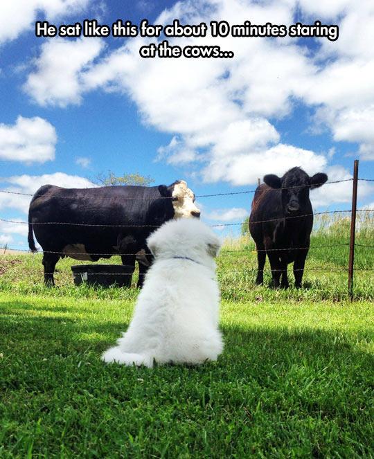 funny-dog-staring-cow-farm