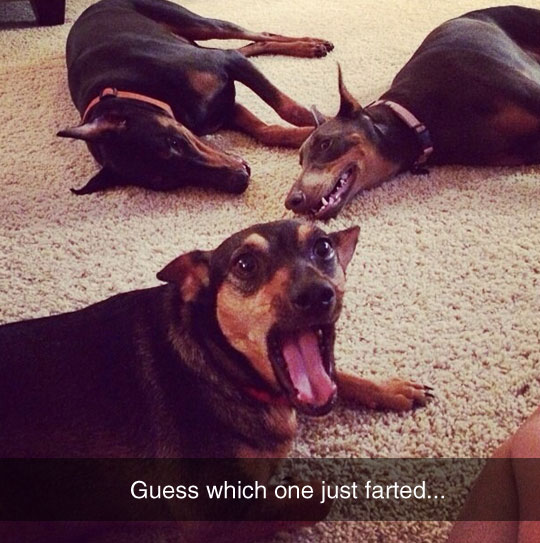 Doberman Farts Are The Worst Thing On Earth