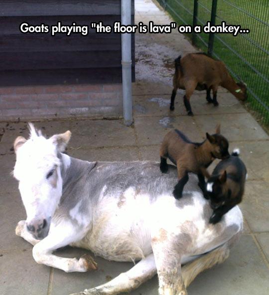 funny-goats-babies-donkey-playing