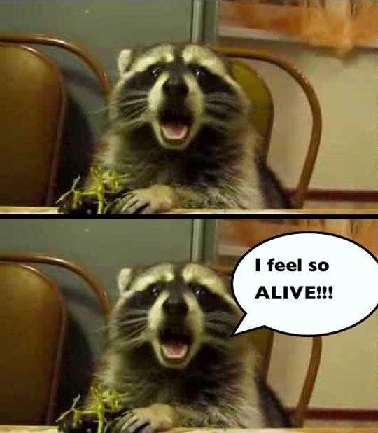 funny-raccoon-alive-eating-grape