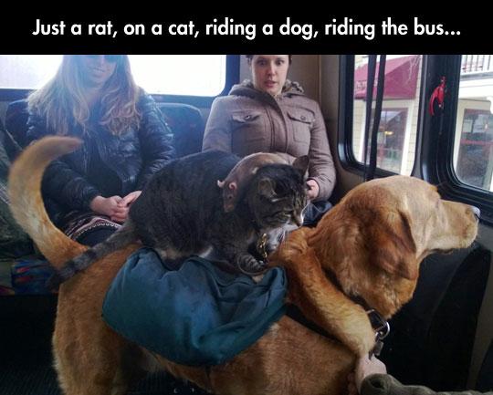funny-rat-cat-riding-dog-bus