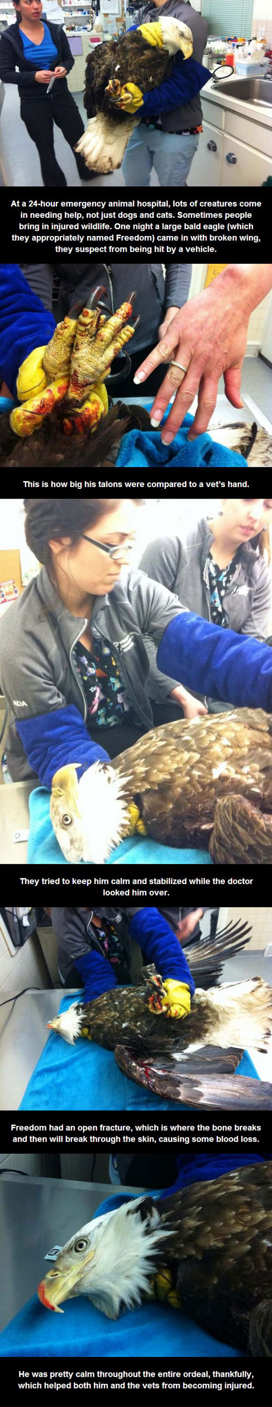 A Bald Eagle Came Into The Animal Hospital